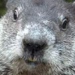 Punxsutawney Phil headshot